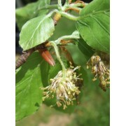 Beech (Fagus sylvatica) 10 ml