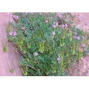 Alfilerillo de Pastor (Erodium ciconium) 60 ml
